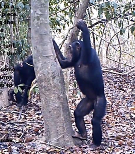 Chimpansees in Ivoorkust laten unieke drinkkunsten zien