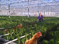 Lelieteler neem legbatterij-kippen in dienst als schoffelaars