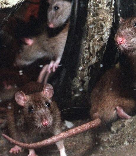 Rattenplaag teistert nieuwbouwwijk Herenland in Opheusden