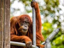 Puan (60) uit Australië is oudste orang-oetan ter wereld