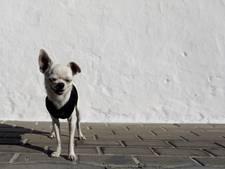 Bestuurder rijdt door na doodrijden chihuahua