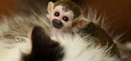 Verstoten aapje is gek op zijn verrassende nieuwe moeder
