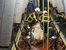 Brandweer redt in melkput gevallen koe