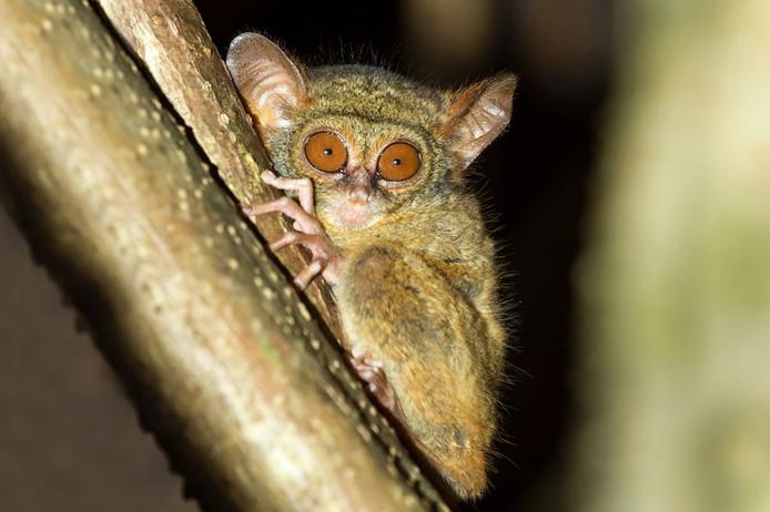 Het spookdiertje is een nachtdier.