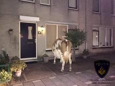 Opmerkelijk bezoek: koe in Schiedamse voortuin