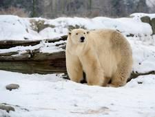 IJsberen houden wetenschappers 'gevangen' op Siberisch eiland
