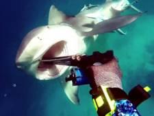 Duiker ontkomt op het nippertje aan haaienaanval