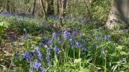 Hyacinten kleuren Koppenbergbos blauw