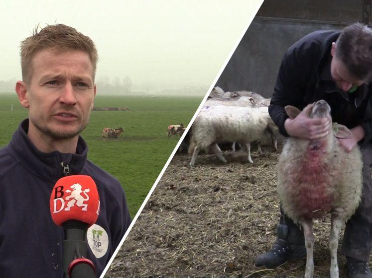 Brabantse schapenboeren vrezen voor wolf: 'Mijn hart sloeg over'