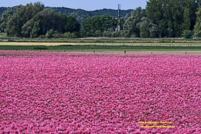 Honderdduizenden roze papaverbloemen