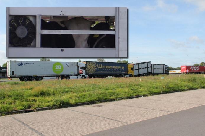 Botsing drie vrachtwagens op de A1 bij Holten. Inzet: koeien staan te wachten in een van de verongelukte trucks.