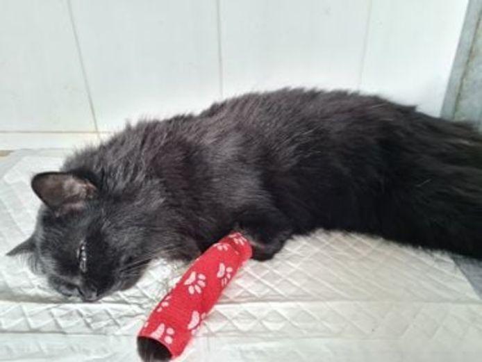De poes in levensgevaar werd in de nacht van vrijdag op zaterdag binnengebracht bij de dierenarts in Heule.