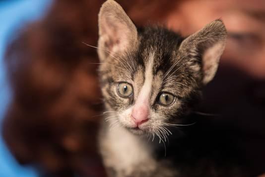 Daan, het jongste katje van het kattenhuis aan de Oester in IJsselmuiden waar  in februari katten werden weggehaald.