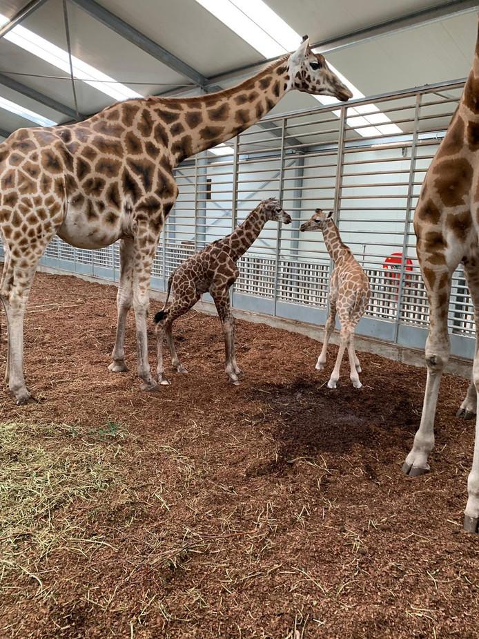 Giraffen geboren in Beekse Bergen.