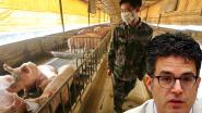"""Van Gucht: """"Nieuw type varkensgriep ernstige kandidaat voor nieuwe pandemie"""""""