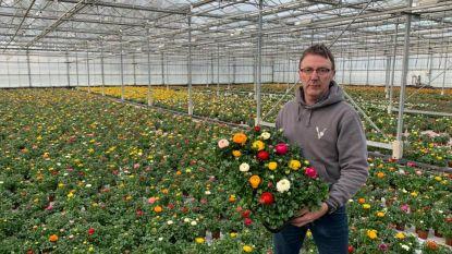 """Veetplant schenkt viooltjes en potranokels aan woonzorgcentra: """"Anders moeten we ze vernietigen"""""""