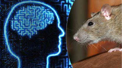 Cyborg-rat kan ingewikkeld doolhof oplossen met behulp van menselijk brein