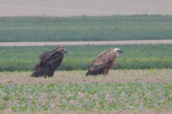 De twee gieren in Limburg.