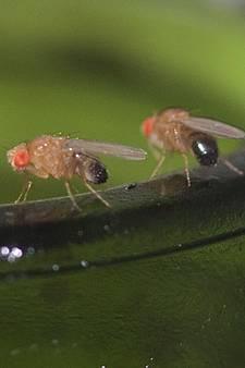 Invasie van fruitvliegjes in de keuken: dit doe je er tegen