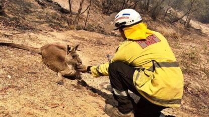 Ook koala's en kangoeroes getroffen door zware bosbranden in Australië