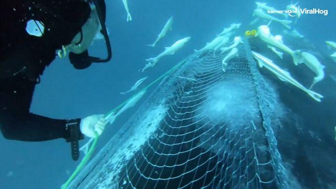 Duikers bevrijden bultrug uit vissersnet