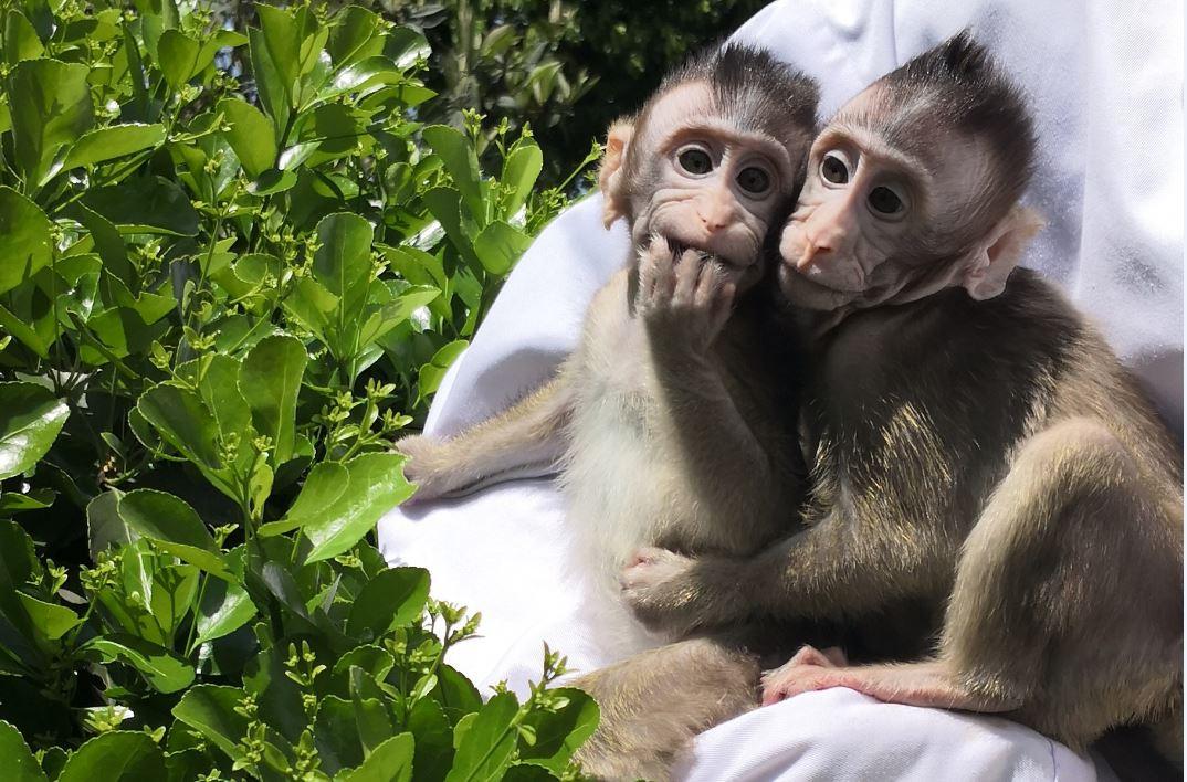 Het onderzoek naar transgene primaten, zoals deze vorig jaar gekloonde apen, moet meer inzicht verschaffen in de ontwikkeling van de mens.