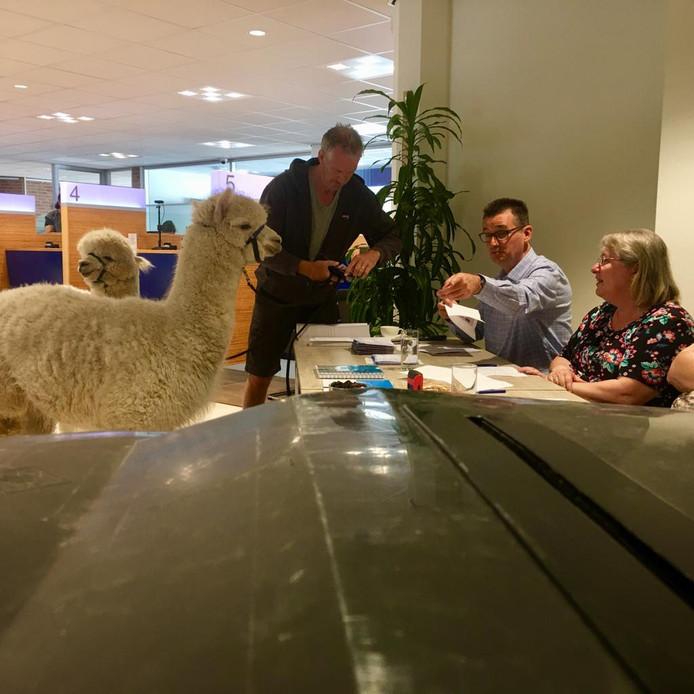 Alpaca's Ohio en Kwint laten hun identiteitsbewijzen zien aan de medewerkers van het stembureau. Ook eigenaar Bas Kooij laat netjes zijn legitimatie zien.