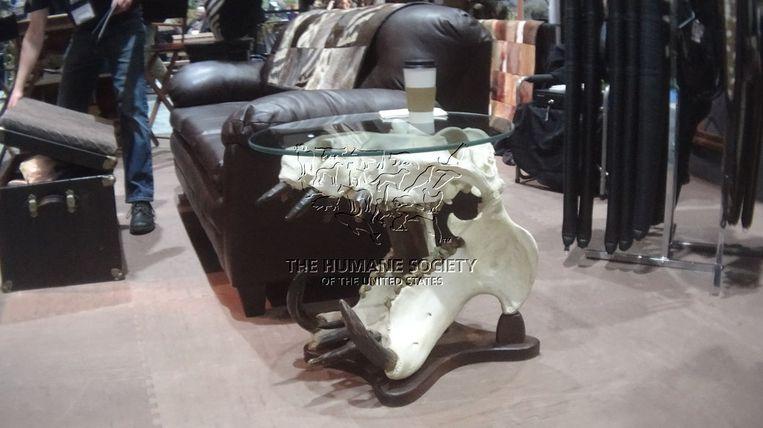 Een tafel met de schedel van een nijlpaard.