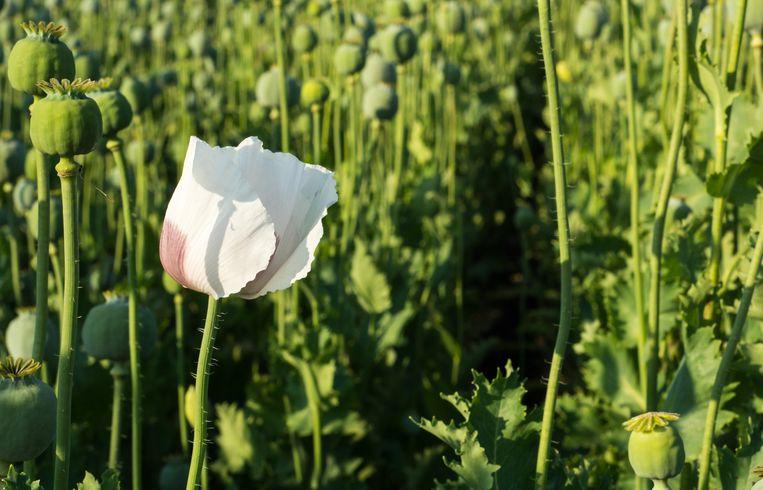 Opiumkruid.
