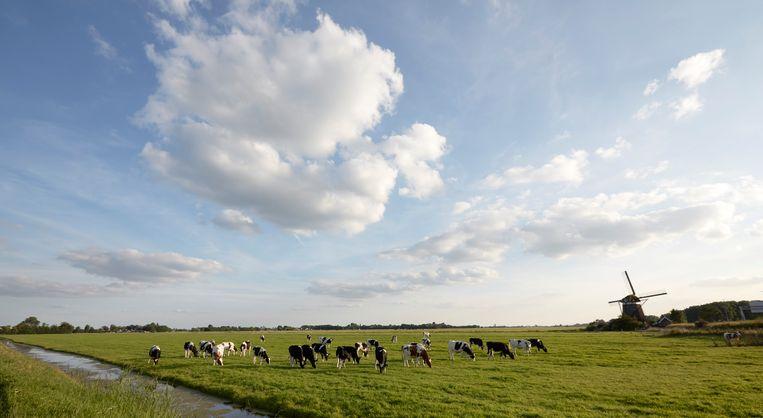 Koeien in het Groene Hart. Beeld Martijn Beekman