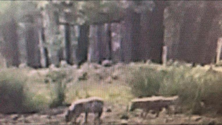 Beelden van twee wolvenwelpen op de Hoge Veluwe.  Beeld Provincie Gelderland