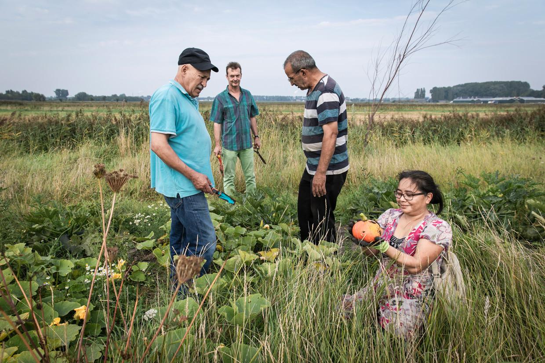 Volkstuinierders in Lutkemeerpolder oogsten groenten voor soep en couscous voor de actiedag zaterdag. Beeld Dingena Mol