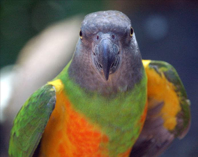 Een kromsnavel papegaai (foto ter illustratie).