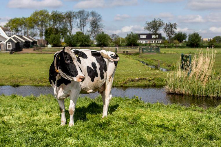 De koeien van Boeren van Amstel grazen in weides met kruidenrijk gras. Beeld Lin Woldendorp