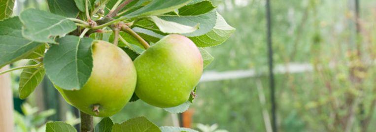 Natuurpunt Houtem zoekt appelboomgaarden om bio-appelsap te maken.