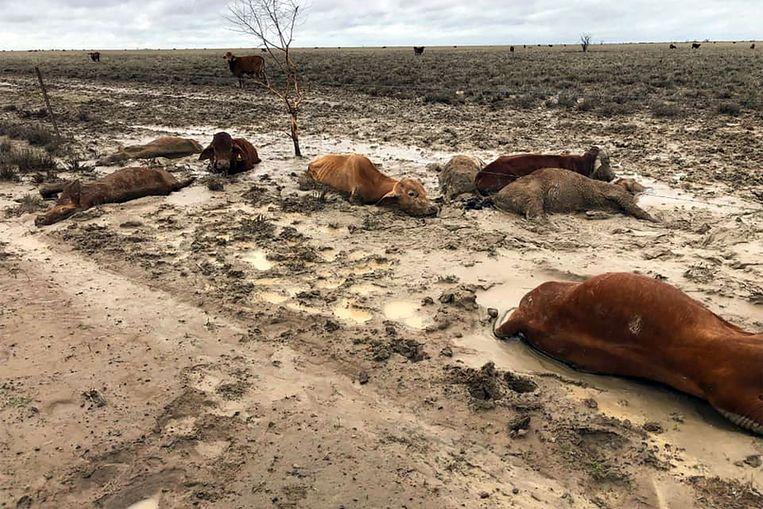 Dode koeien nabij Julia Creek in de staat Queensland.