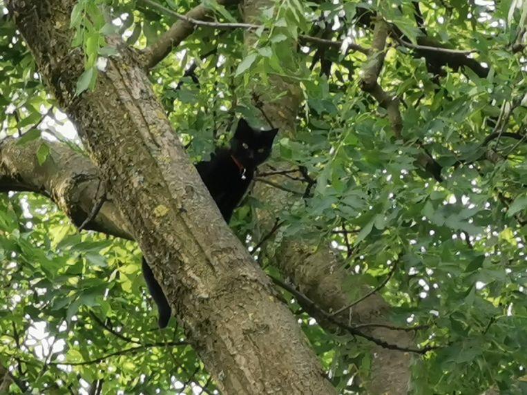 Zes dagen lang zat de kat Nessie 20 meter hoog boven de grond zonder eten of drinken.