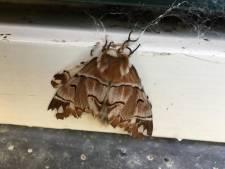 Gevlamde vlinder gevonden in Ommen: 'Dit is echt heel zeldzaam'