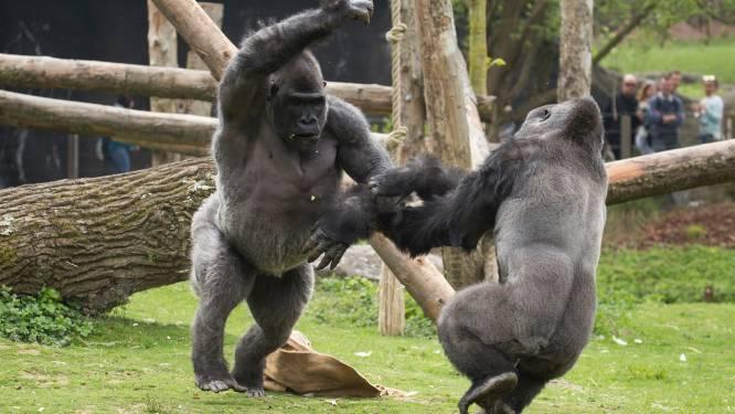 """Pairi Daiza: """"Opstootje van gorilla's is deel van hun sociale gedrag"""""""