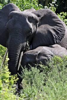 Vluchtende olifant doodt jongen (8) in Oeganda