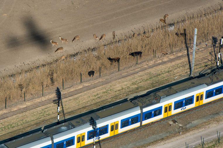 Dieren in de Oostvaardersplassen naast de spoorlijn die langs het natuurgebied loopt. Beeld ANP