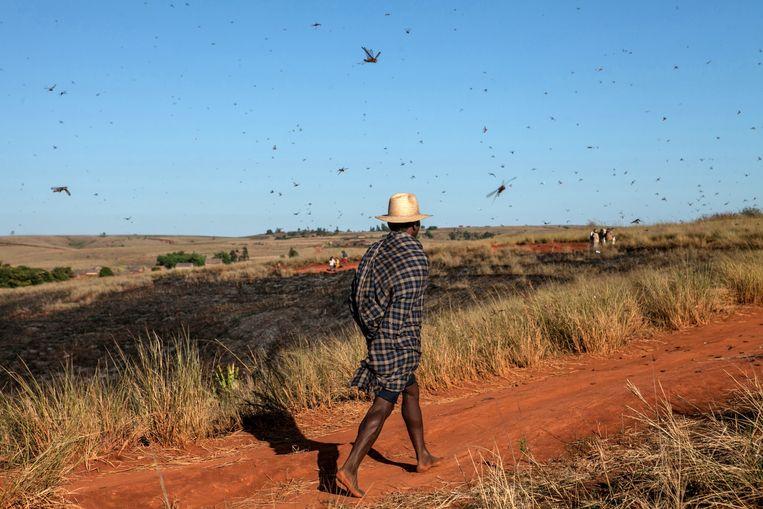 Een man loopt in Madagaskar, omringt door een zwerm sprinkhanen. Beeld AFP