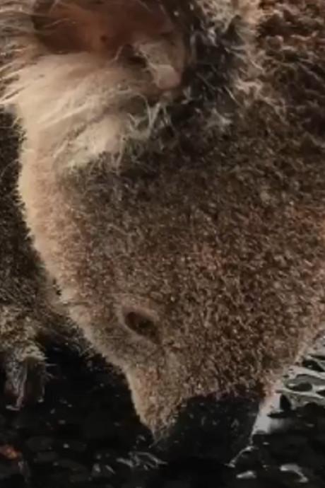 """Assoiffé, un koala passe de flaque en flaque pour s'abreuver: """"Soyez prudent sur les routes"""""""