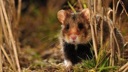 Wilde hamsters uitgezet in Tongeren om soort van de ondergang te redden