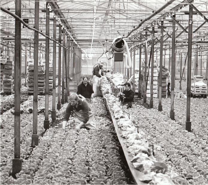 Het begon ooit met een stukje plat glas. Dat platte glas werd een tuinbouwkasje voor de teelt van tomaten, en groeide vanaf pakweg 1965 tot heden door tot een tweede Glazen Stad. Die strekt zich tegenwoordig uit over grote delen van de gemeenten Asten en Someren en heeft - met kassen tot zes meter en hoger - een industriële uitstraling gekregen. Op de foto een tussenstand in 1986: sla-oogst in een kas aan de Waardjesweg in Heusden.