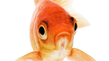 Gezocht: goudvis met acteertalent