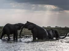 Botswana overweegt olifantenjacht weer toe te staan