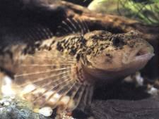 De rivierdonderpad voelt zich straks weer thuis in de Glanerbeek