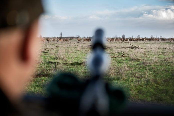 Staatsbosbeheer moet in opdracht ongeveer 1800 edelherten in de Oostvaardersplassen afschieten.