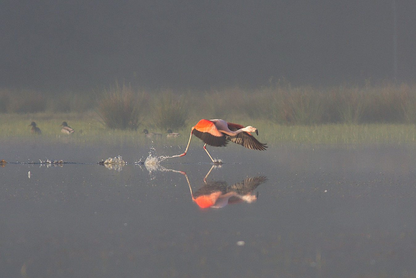 Vliegende flamingo's in het Zwillbrocker Venn.